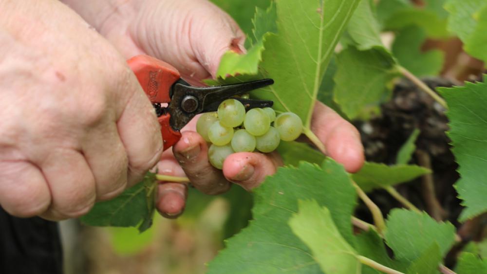 La coupe des grappes de pinot blanc s'est faite le 6 septembre.